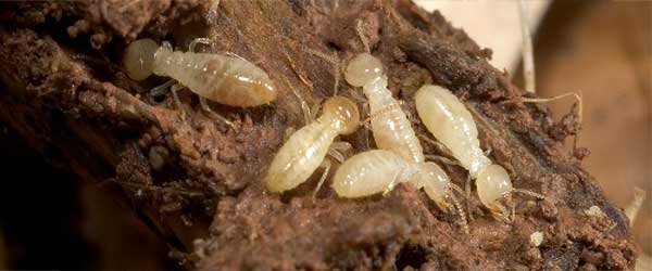 Termites Inspection and Treatment