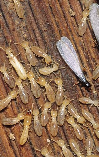 Types of Termites in Melbourne