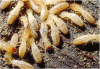 Termites Damages to Homes and Construction